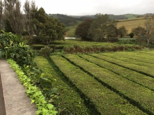 tea fields (jpeg)